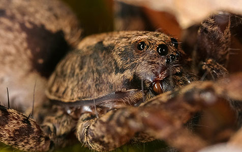 Wolf Spider macro photograph